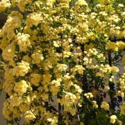 Banksiae Lutea - Banks