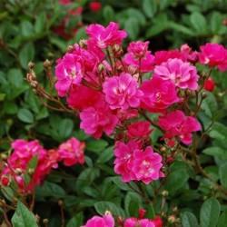 Orleans Rose