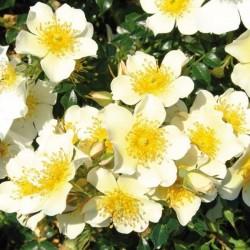 Sonnenröschen ou Rose du Soleil ®