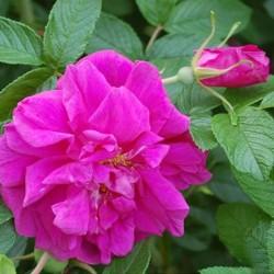 Roseraie de L' Hay