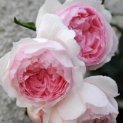 The Wedgwood Rose ®