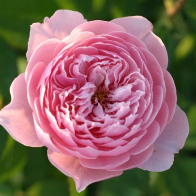 The Alnwick® rose