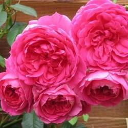 Pink Cloud  ®