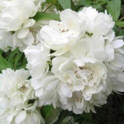 Banksiae Alba Plena - Banks blanc