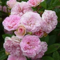 Pink Ghislaine de Féligonde ®