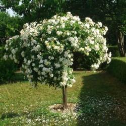 Rosier haute tige Opalia ® 120