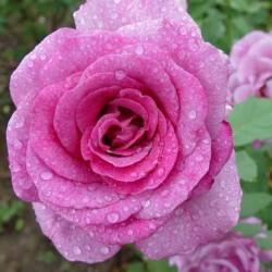 Violette parfumée ®