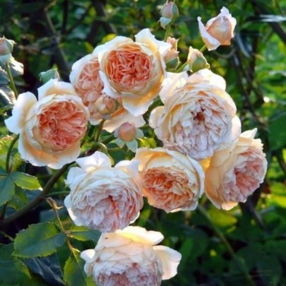 Crown Princess Margareta ®