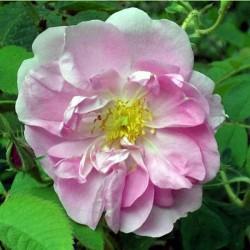 Kazanlik -Rose de Damas