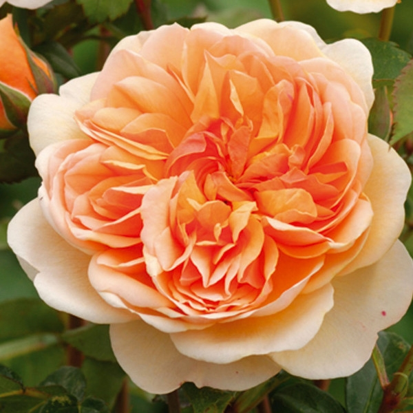 port sunlight rosier direct producteur en vente sur