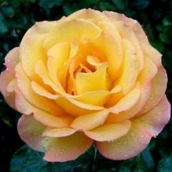 Rose de Mont de Marsan ®